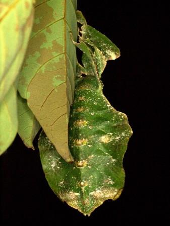 Leaf Insect (Phyllium giganteum), Malay Peninsula
