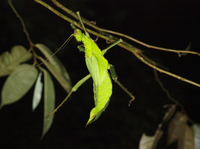 Jungle Nymph Stick Insect (Heteropteryx dilatata), Malay Peninsula