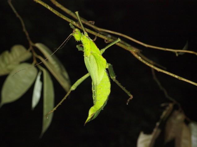Jungle Nymph Stick Insect (Heteropteryx dilatata), Malay Peninsula